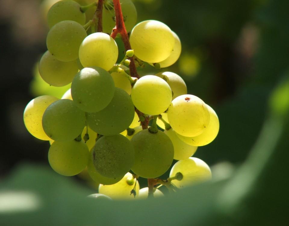 szőlő1